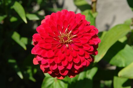 Double flower of zinnia elegans (variety 'Cherry Queen') close-up. Fiery cherry-red zinnia with circle of small golden stars in its central disc in sunny day in the garden