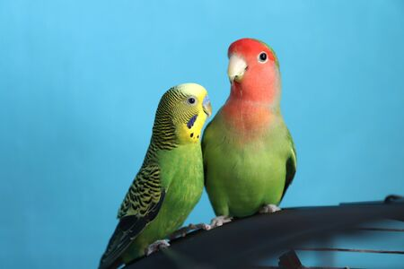 A close up of two green parrots - budgie and rosy-faced lovebird. Friendship between a parrots of different species