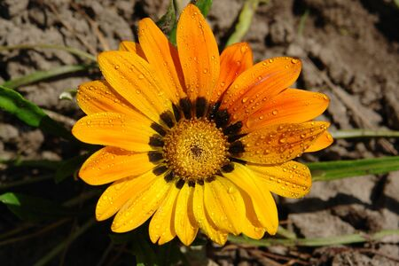 A close up of brilliant yellow-orange flower of Gazania rigens (sometimes called treasure flower), growing in the garden, top view Banque d'images