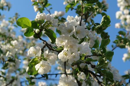 A close up of apple tree branch with beautiful snow-white delicate flowers against blue sky, natural blurred background. Flowering apple tree (Malus domestica) on a bright sunny day