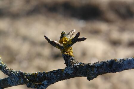 The foliose lichens - Xanthoria parietina and Parmelia sulcata on a branch of old wild pear during springtime