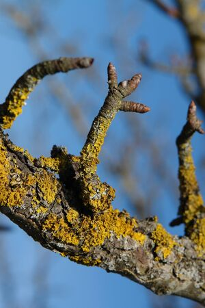 The common orange lichen (Xanthoria parietina), growing on a branch of old wild pear during springtime
