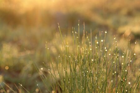 Dew on a grass, lit by warm golden morning light. Fresh spring background - fine blades of grass with shining transparent water drops, close up, selective focus