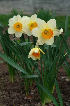 A close up of pale yellow daffodils with a central bright orange corona in the garden, selective focus, blurred background 版權商用圖片