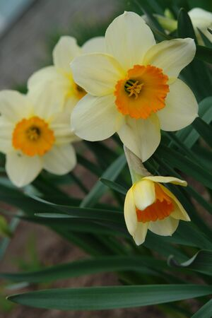 A close up of pale yellow daffodils with a bright orange corona, growing in the garden