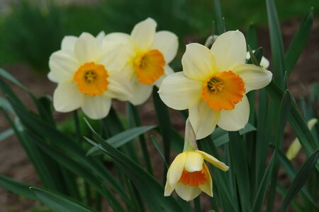 A close up of pale yellow daffodils with a central bright orange corona, blooming in the garden