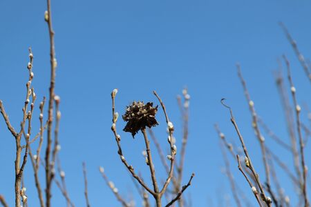 A close up of the willow rose on a branch of gray willow (Salix cinerea) against the bright blue sky. Rose - result of a gall midge Rabdophaga rosaria, laying eggs in the budding leaves of the plant