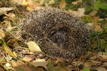 A close up of common hedgehog (Erinaceus europaeus), curled up into a ball. A hedgehog, lying on the side among a dry fallen leaves on a glade in the forest on a sunny autumn day Standard-Bild