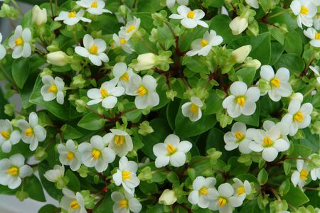 A close up of white flowers of Begonia semperflorens-cultorum (group of wax or fibrous rooted begonias) with bright green leaves Stock Photo