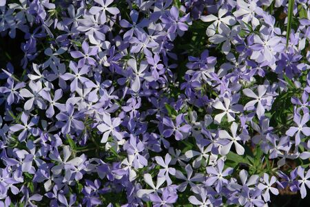 A close up of pale bluish-purple flowers of spreading phlox (Phlox diffusa), growing in the garden, top view