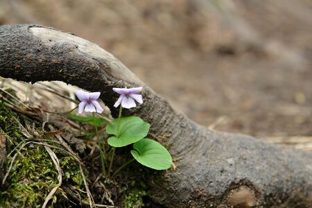 A close up of two delicate lilac flowers of viola epipsila (dwarf marsh violet'), growing in area of the Waterfall Spokoyny, Kamchatka Peninsula, Far East Russia