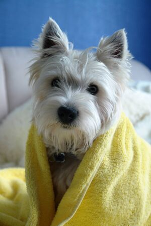 Cute West Highland White Terrier wrapped in a yellow towel is sitting on a bed after bathing