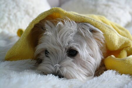 West highland terrier lying on the bed after bathing. Cute white dog wrapped in a yellow towel after a bath Archivio Fotografico