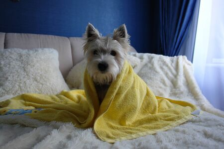 Cute West Highland White Terrier, wrapped in a yellow towel, is sitting on a bed after bathing Archivio Fotografico