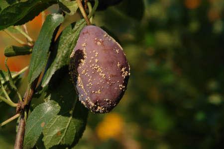 Brown rot (Monilinia fructicola) on a ripe plum on the tree, close-up
