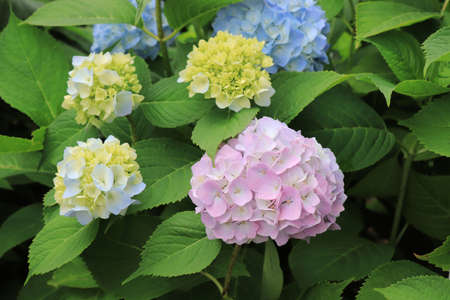 A close up of whitish pink and blue flowers and buds of Hydrangea macrophylla (bigleaf, French, lacecap or mophead hydrangea, penny mac, hortensia) in the garden