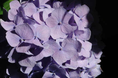 The light bluish pink flowers of Hydrangea macrophylla (bigleaf, French, lacecap, mophead hydrangea) in dew in the garden on a sunny morning, top view, copy space. Lilac hortensia flowers, close-up Stock Photo