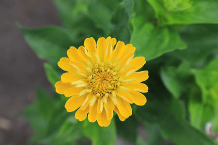 Bright yellow flower of zinnia elegans (common zinnia; youth-and-age; elegant zinnia) in the garden, close-up, top view, copy space. Zinnia 'Golden State' bud unfurling