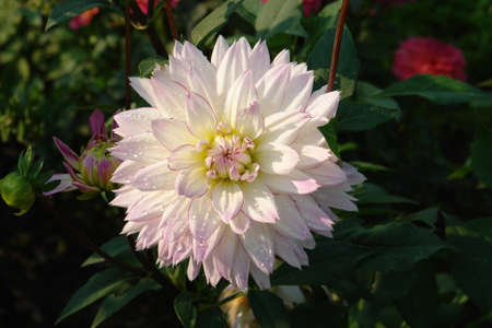 A close up of white, delicately blushed with lilac-pink at the tips dahlia of the 'Crazy Love' variety (Semi Dinner Plate Dahlia) in dew in the garden on a sunny morning, copy space for text