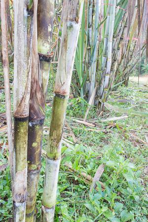 celulosa: Plantas de ca�a crecen en el campo en Tailandia.