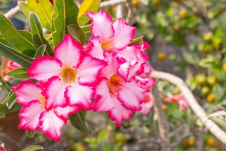 Tropical flower Pink Adenium. Desert rose.