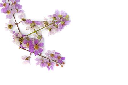 annonaceae: Lagerstroemia floribunda,Purple flower,Cananga flower (Cananga odorata) annonaceae, Queens Flower, on a white background. Stock Photo