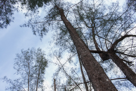 straight up: forest tree, pine under sky, Image Low Key tree. (View straight up through tall tree) : Ideal use for background :