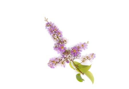 annonaceae: Lagerstroemia floribunda,Purple flower,Cananga flower (Cananga odorata) annonaceae, Queens Flower, on white background.