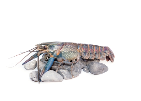 Australian blue crayfish Cherax quadricarinatus ,Cherax uadricarinatus on the stone , On a white background isolated