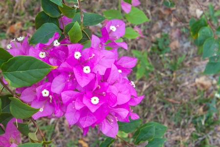 tropical shrub: purple bougainvillea and soft-focus background, bougainvillea shrub growing outside on a sunny day in tropical.