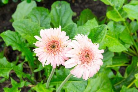 flower Gerbera of the Gerbera genus. pink Gerbera with water drops in the garden, Barberton daisy, Gerbera jamesonii, Daisy fromSouth Africa. (select focus Gerbera, and Blur blurred background