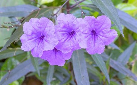 Ruellia flower Purple bloom in the morning. (Ruellia tuberosa Linn. Waterkanon, Watrakanu, Feverroot, Popping pod)