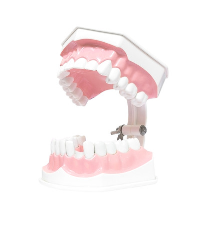 Dental Model  Teeth Open mouth, and broken tooth , Isolated on white background clipping path