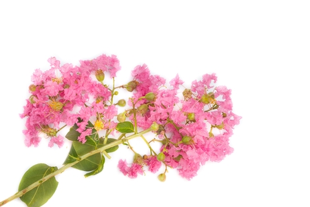 Pink crape myrtle Lagerstroemia speciosa or jarul flower of Indian subcontinent On a white background. ( Crape myrtle, Indian lilac, Crape flower.)
