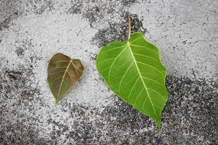 pipal: Bodhi or Peepal.  Leaf  Bodhi Drop on concrete  :select focus leaf bodhi :
