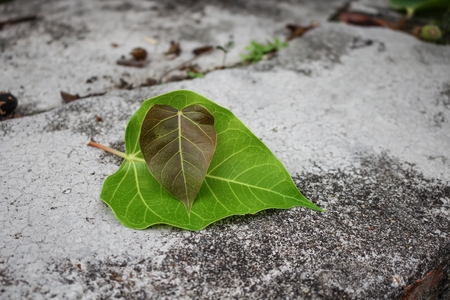 Bodhi or Peepal.  Leaf  Bodhi Drop on concrete  :select focus front leaf bodhi and soft-focus background : Banque d'images