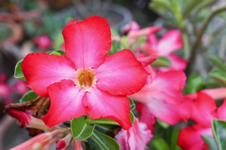 Closed up Desert Rose Tropical flower on a tree, or Impala Lily flower. beautiful Pink adenium in the garden. : select focus Desert Rose Tropical flower with shallow depth of field and soft-focus background : Stock Photo