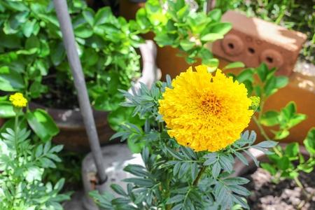 Marigold yellow flowers beautiful marigold india flower in the marigold yellow flowers beautiful marigold india flower in the garden close up select focus mightylinksfo