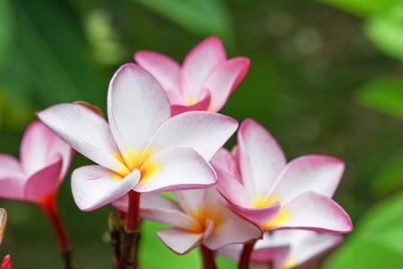 Pink plumeria on the plumeria tree. beautiful frangipani tropical flower : select focus front flower plumeria and soft-focus background : Common name   Apocynaceae,Frangipani , Pagoda tree :