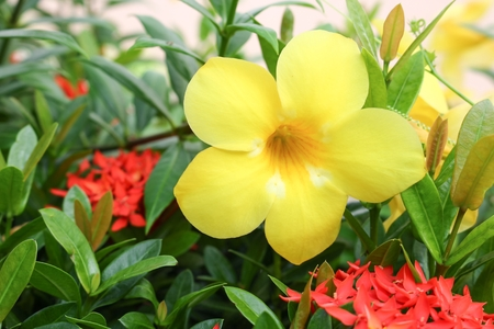 cathartic: Golden Trumpet, Allamanda cathartica, willow-leaved climber blooming in the garden. Yellow flower.(select focus front Golden Trumpet) Stock Photo