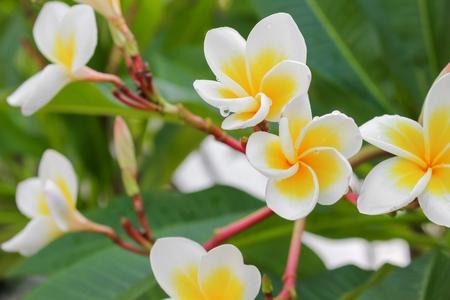 plumeria flower desert rose white beautiful on the tree, selective focus(  Scientific name, Apocynaceae,Frangipani , Pagoda ,Temple )