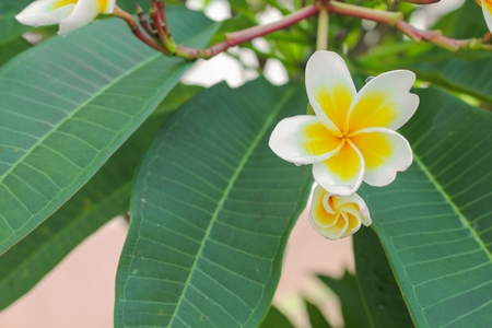 obesum: Selective focus plumeria flower desert rose white beautiful on the tree (  Scientific name, Apocynaceae,Frangipani , Pagoda ,Temple ) Blur blurred background Stock Photo