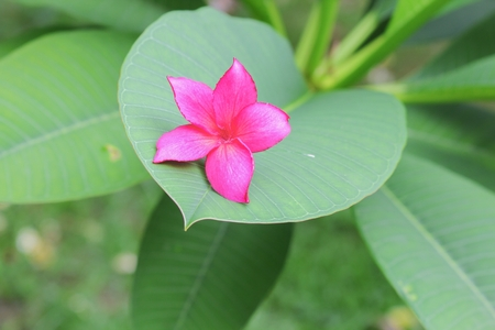 plumeria flower pink or desert rose beautiful on the tree  ( Common name Apocynaceae,Frangipani, Pagoda,Temple )front selective focus