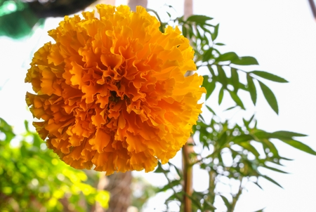 Marigold yellow flowers. Beautiful Marigold india flower in the garden  close up :Select focus with shallow depth of field.