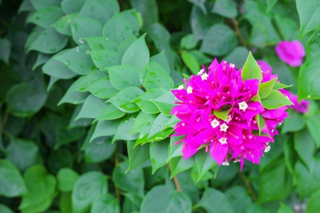 Bougainvillea,Paper flower purple beautiful natural in garden