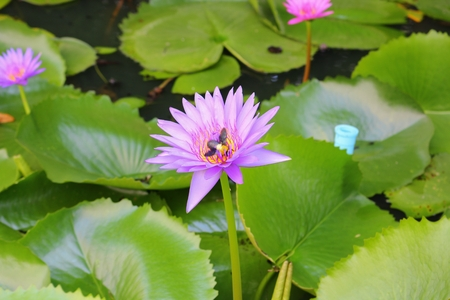 Lotus lilly purple on water, selective focus and soft background, with bee motion beautiful