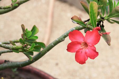 desert rose Tropical flower on a tree or Impala Lily beautiful Pink adenium in the garden Stock Photo