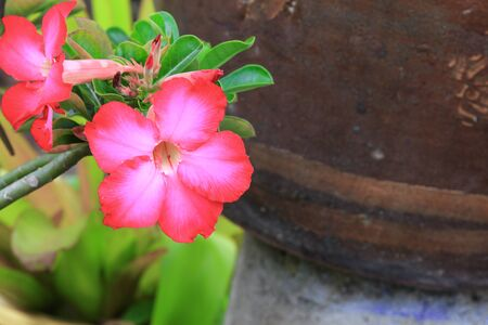 obesum: desert rose Tropical flower on a tree or Impala Lily beautiful Pink adenium in the garden Stock Photo