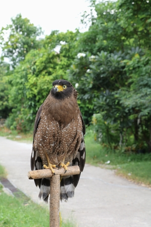 Falcon Peregrine or golden eagle beautiful, select focus shallow depth of field.