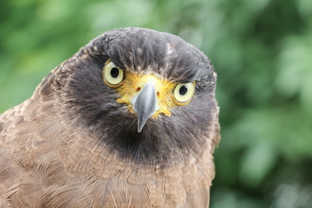 Falcon Peregrine or golden eagle, Closeup sitting on hand Stock Photo